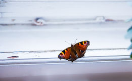 Окно бабочки павлина Стоковые Фото