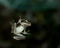 окно перескакивания лягушки стеклянное Стоковое фото RF