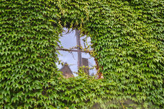 Окно плюща Стоковая Фотография