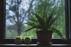 Окно украшенное с папоротником в цветочном горшке и 2 желтых яблока на дождливый день Стоковые Фото