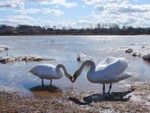 около лебедей реки Стоковое фото RF