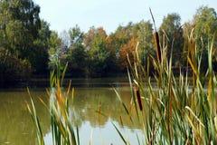 Около пруда Общий прибрежный завод известный как: тростник, cattail, панки, трава собаки мозоли, сосиска болота, или bulrush стоковое фото rf