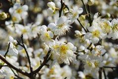 окончательно весна sakura Стоковая Фотография