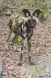 Окровавленная дикая собака Ботсвана Том Wurl Стоковое Фото