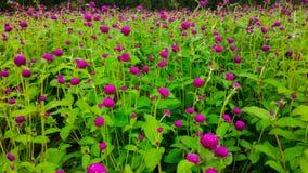 Округленный розовый фиолетовый заострённый амарант глобуса цветет в саде стоковое изображение