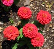 Округленный цветок лепестка красного цвета стоковое изображение rf
