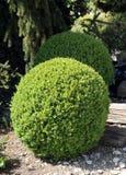 Округлая форма Boxwood стоковое изображение