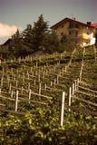 окруженные виноградники Стоковая Фотография