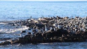 Окруженный rookery уплотнения на скалистом рифе Камчатским полуостровом стоковая фотография rf