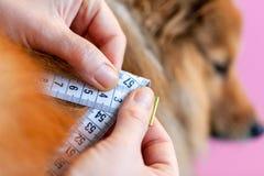 Окружность живота измерена с рулеткой на собаке стоковая фотография