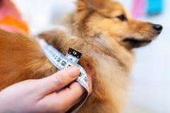 Окружность живота измерена с рулеткой на собаке стоковые изображения