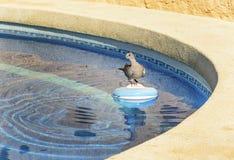Окружённый голубь сидя на распределителе химиката бассейна Стоковое Фото