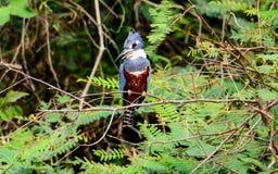 Окружённый Kingfisher сидеть на своем окуне Стоковая Фотография RF