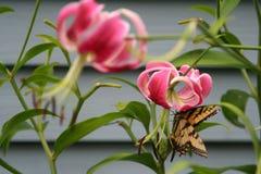 Окуни бабочки Swallowtail тигра на лилии rubrum Стоковые Фото