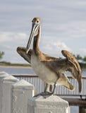 Окуни пеликана на столбе Стоковые Изображения