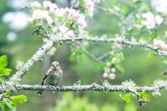 Окуни siskin сосенки на ветви яблока Стоковые Изображения