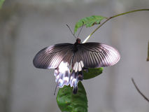 Окунь бабочки на ветвях Стоковое фото RF
