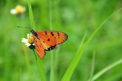 Окунь бабочки на wildflower Стоковая Фотография