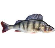 Окунь, бас, пресноводная рыба Стоковые Изображения RF