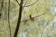Окунь воробья на ветвях в утре Стоковая Фотография