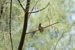 Окунь воробья на ветвях в утре Стоковое Изображение RF