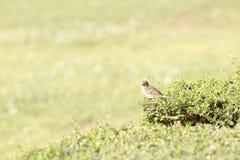 Окунь воробья на ветвях Стоковая Фотография RF