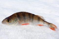 Окунь в снеге Стоковая Фотография RF