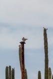 Окунь голубя кактусами Стоковая Фотография RF