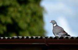 Окунь голубя на крыше дома Стоковая Фотография RF