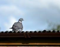 Окунь голубя на крыше дома Стоковые Фотографии RF
