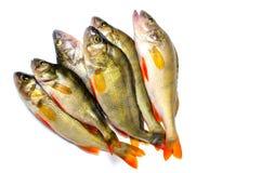 Окунь на белой предпосылке, пресноводная рыба реки Стоковое Изображение RF