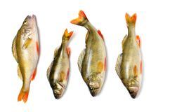 Окунь на белой предпосылке, пресноводная рыба реки Стоковые Изображения RF