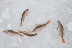 Окунь на льде Стоковая Фотография RF