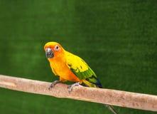 Окунь птицы попугая conure Солнця стоящий на ветви Стоковая Фотография RF