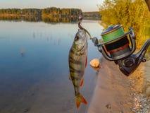 Окунь рыб на крюке Стоковые Изображения