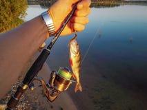 Окунь рыб на крюке Стоковое Изображение