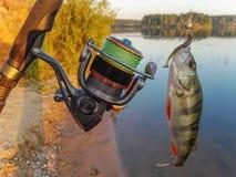 Окунь рыб на крюке Стоковая Фотография RF