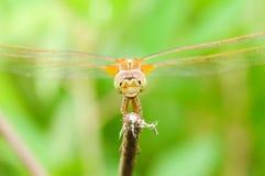 Dragonfly крупного плана Стоковая Фотография RF