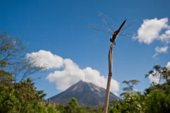 окунь dragonfly стоковые фото
