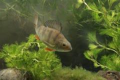 Окунь, fluviatilis Perca Стоковая Фотография RF