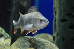 Окунь Redfin Стоковое Фото