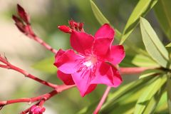 Олеандр фуксии ландшафт нескольких цветков более близкий стоковое фото rf
