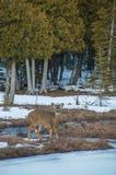 Олени белого кабеля смотря камеру деревьями кедра в зиме s Стоковое Фото