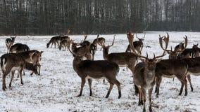 Олени в зиме в Польше стоковые изображения rf