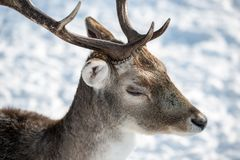 Олени в зиме Стоковая Фотография RF
