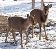 Олени в парке в зиме стоковые фотографии rf