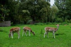 Олени в парке стоковая фотография