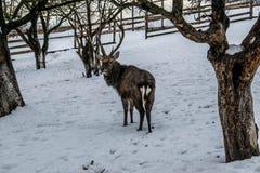 Олени в саде в снеге в зиме стоковые изображения