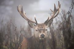 Олени в тумане стоковые изображения rf