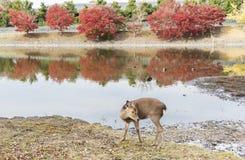 Олени в Nara, Японии стоковая фотография rf